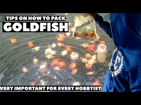 Tips On How To Pack Goldfish - Gold Fish (English Subtitle)