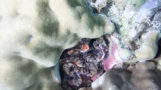 ラチャヤイ島013 シャコ貝