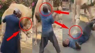 Dangerous Camel Qurbani Eid ul Adha 2018 || Bakra Eid 2018