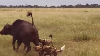 BEASTS EAT ANIMALS ALIVE Best attack wild Epic Battle Of Wild dogs vs Animals
