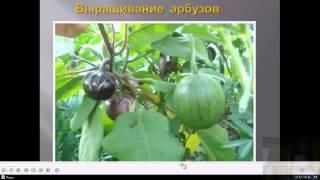 Бахча по природному, арбузы, дыни Теплая грядка