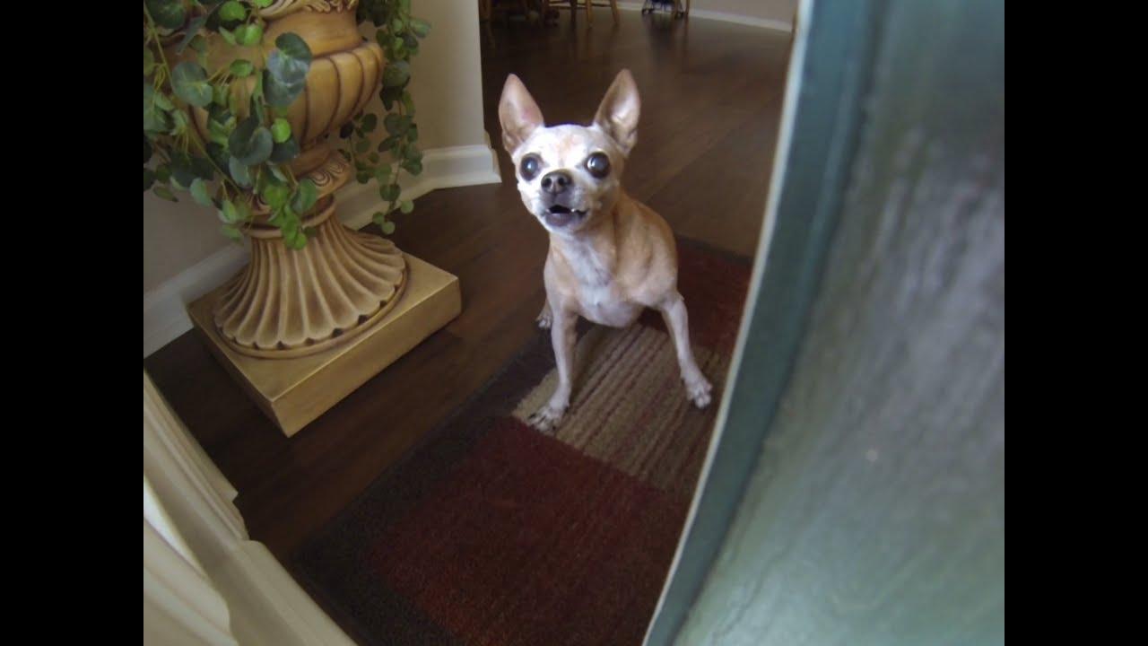 Miniature Chihuahua U0026 Pinscher Guard Dogs Answer The Door