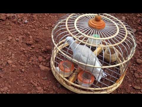 chim cu gáy đẹp phơi nắng- 0975234918