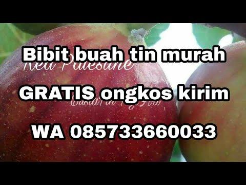 jual-bibit-buah-tin-red-palestine-085733660033-buah-jumbo-super-produktif