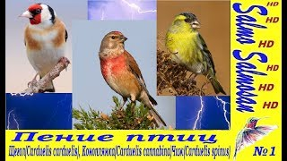 Пение птиц №1 Щегол(Carduelis carduelis), Коноплянка(Carduelis cannabina)Чиж(Carduelis spinus)