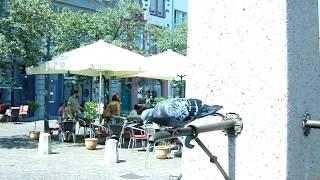Konstanz : Durstige Taube trinkt am Brunnen