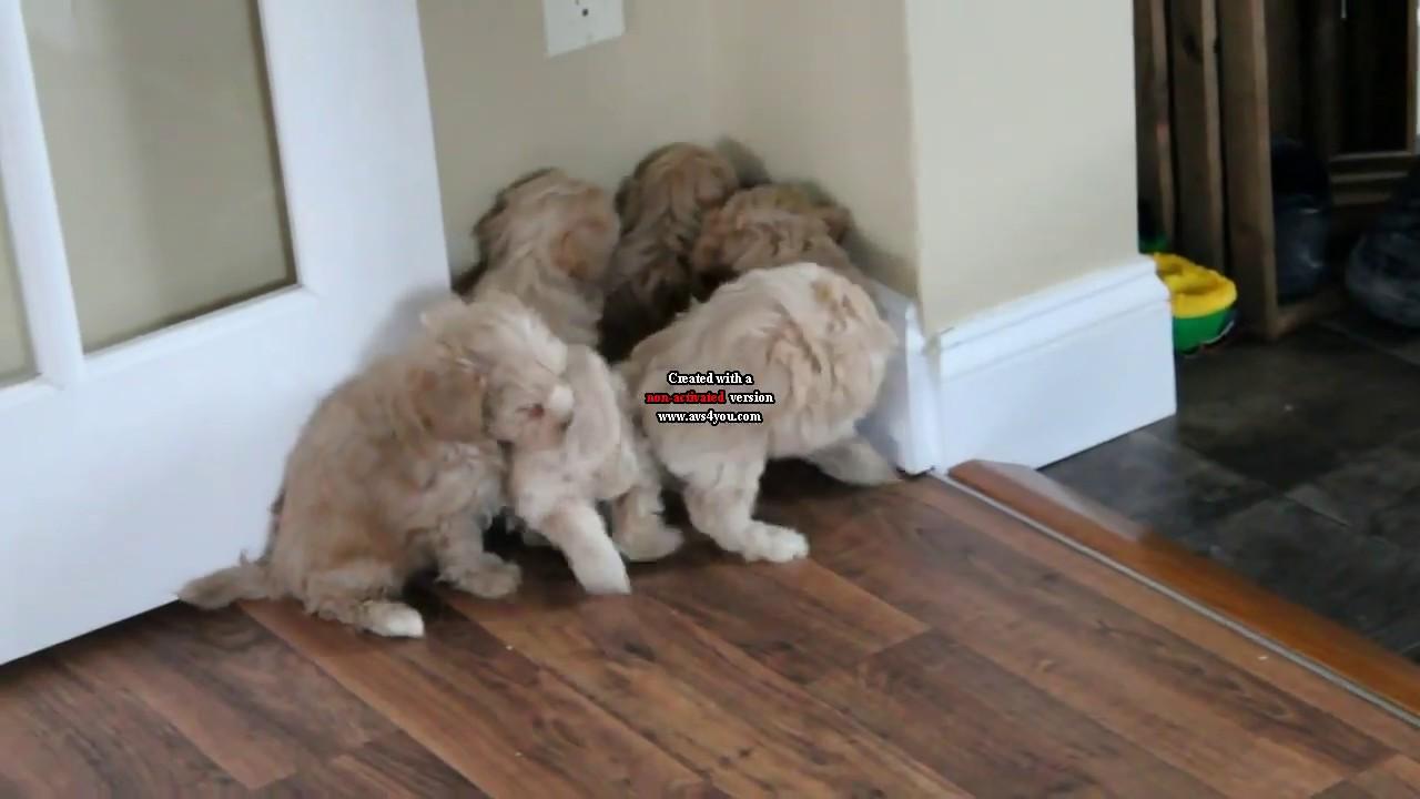 Malti Poo Puppies For Sale Leroy And Liz Stoltzfus D's