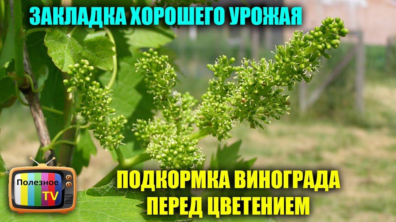 виноград цветение