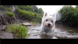 Westie Water Time - Dogs' Pov