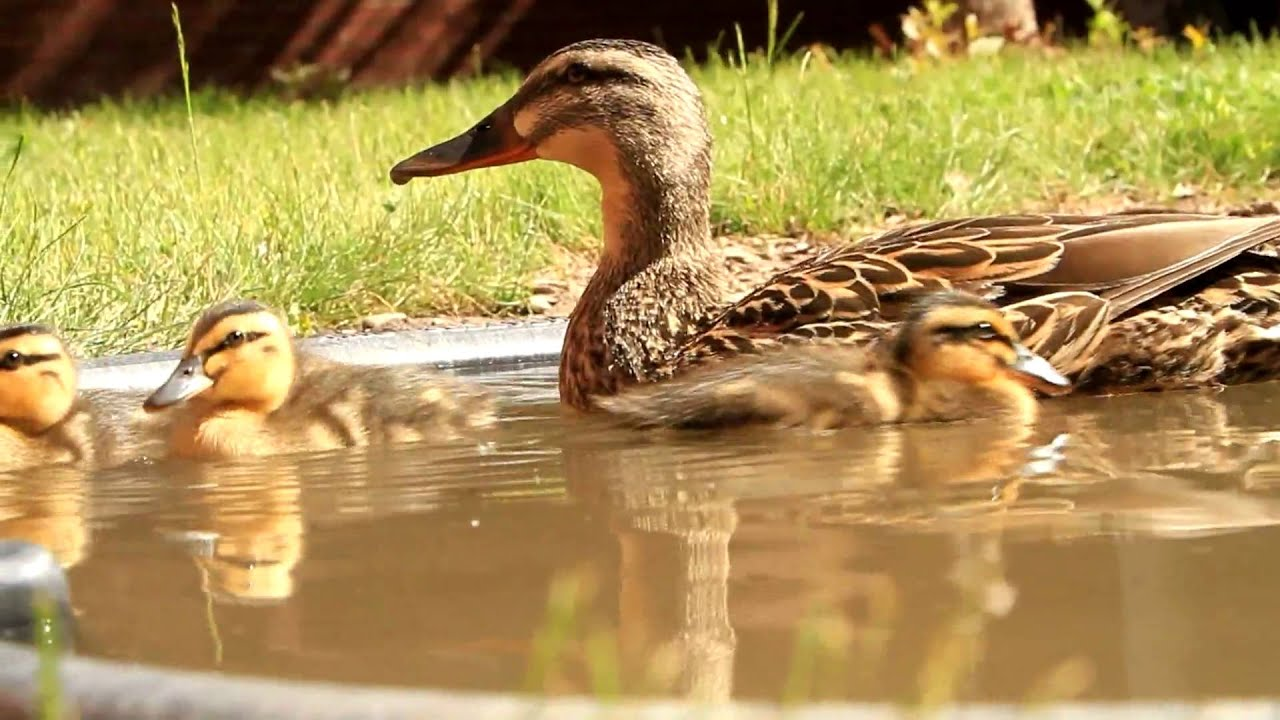 Cute Duckling Wallpaper Cute Baby Mallard Ducks Hd Canon Eos 7d Youtube