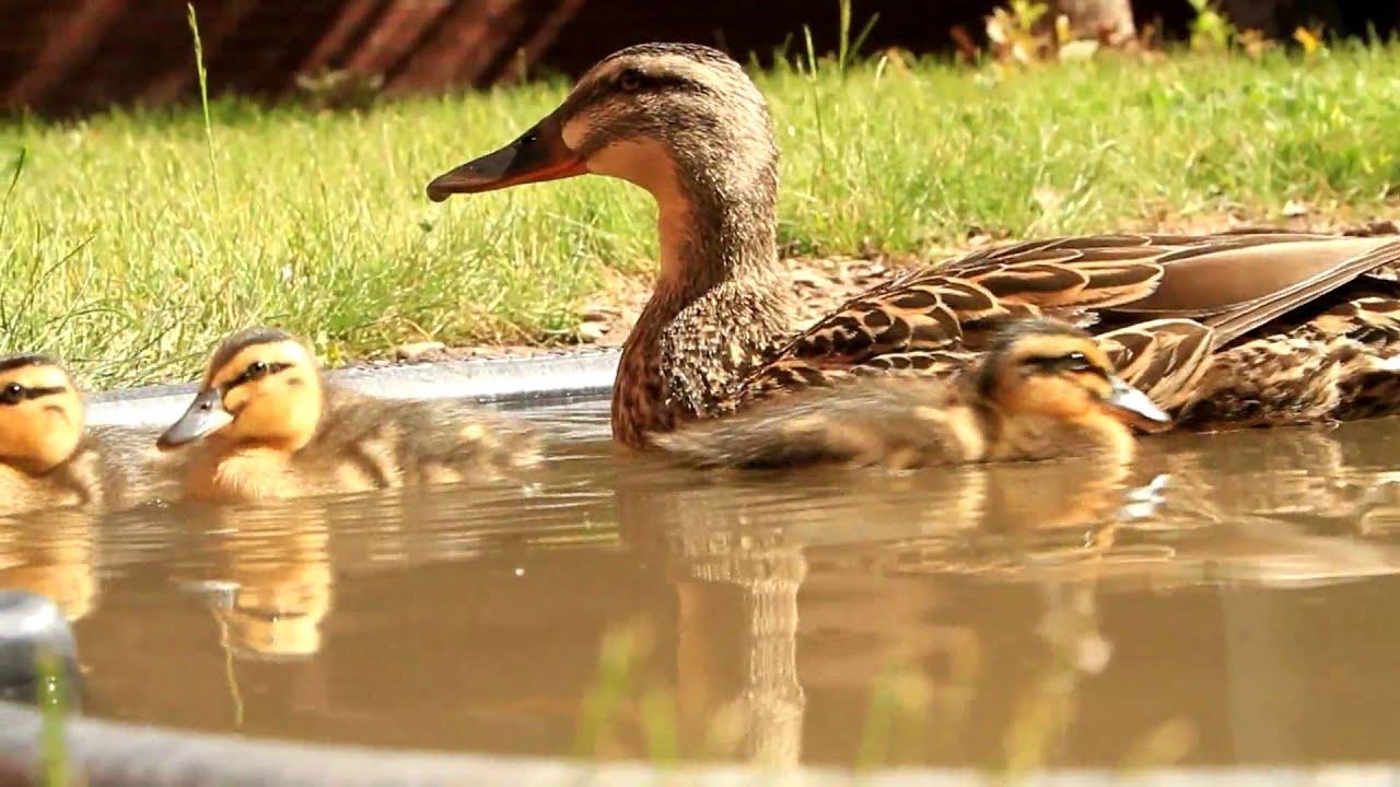 Cute Baby Duck Wallpaper Hd Cute Baby Mallard Ducks Hd Canon Eos 7d Youtube
