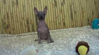 Мексиканская голая собачка, мини. Питомник Sun Mexico.