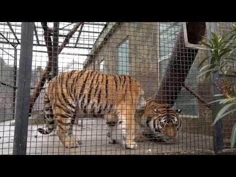 Тигр атакует!