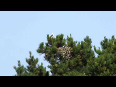 White-tailed Kites Hand Off Vole And Feed Hatchling