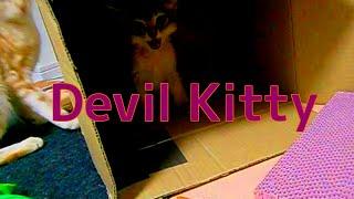 Kitten threat子猫の威嚇「シャーシャー子猫」2