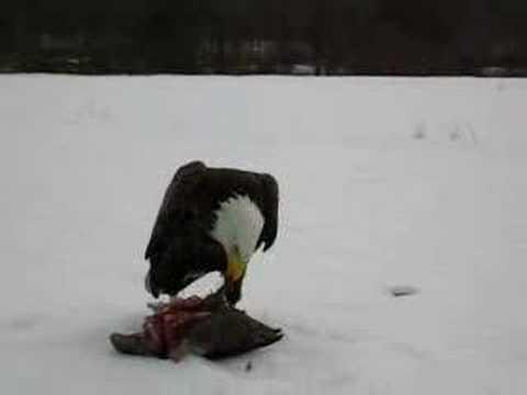 canada goose attacks bald eagle