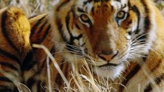 Project C.A.T.: Conserving Acres for Tigers
