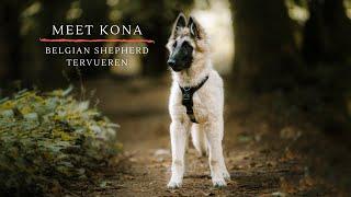 Meet Kona   Belgian Shepherd Tervueren Puppy