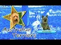 Talking Australian Terriers with the Goiffon's!