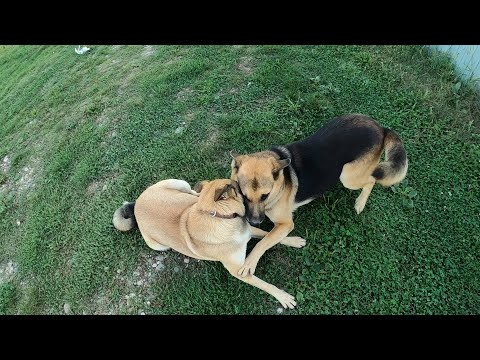 Вопрос: Как повлияет стерилизация на поведение охотничьей собаки?