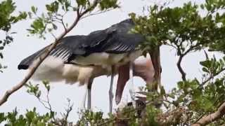 Birds of Uganda - the marabou stork