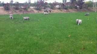 Weimaraner Puppies For Sale In Wexford
