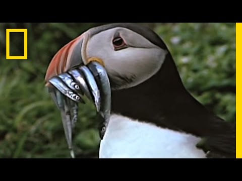 Empowering Puffins | National Geographic