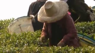 Tea picking at plantations, Mae Salong, Chiang Rai