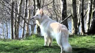All White German Shepherd Dogs