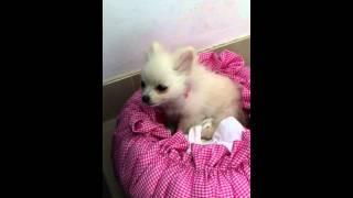 Pomeranian Puppy Filippa Coughing 2