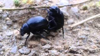 Porn animal böcek ( Kara mehmet böceği )