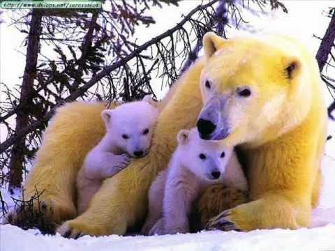 мир белых медведей видео