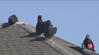 Video: Black vultures take over one Orlando neighborhood