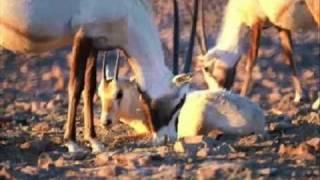 المها العربي الوضيحي و البقر الوحشي Arabian Oryx
