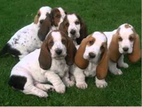 How To Potty Train Basset Hound Puppy | FREE MINI COURSE ...