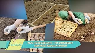 Картофель: сбор и хранение