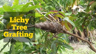 How to grafting lichy tree | লিচু গাছে কলম করার পদ্ধতি| kaise lichee ke ped graaphting karane ke lie