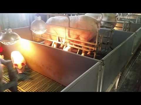 pig farm in south korea