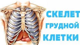 Скелет грудной клетки / Скелет грудної клітки