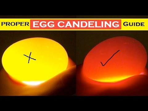 Budgie Egg Candling Guide - Difference Between Fertile , Infertile & Dead in Shell