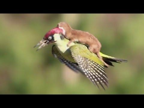 Weasel Rides Woodpecker; Internet Goes Crazy
