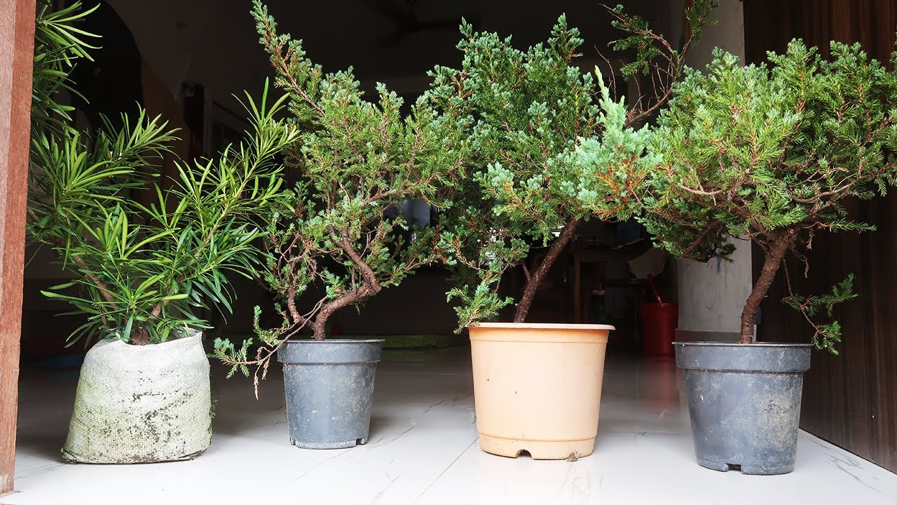 Cheap Bonsai Plants In Kolkata Wholesale Price For Bonsai Trees In India Youtube