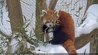 Preview of stream Endangered red pandas live in Trevor Zoo, USA