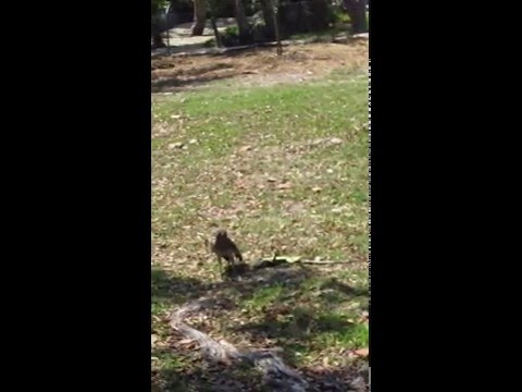 Hawk Eating a dead Green Iguana gets scared by Squirrel