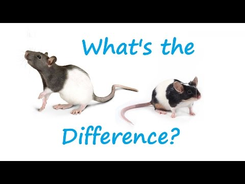 What's The Difference Between Rats And Mice?