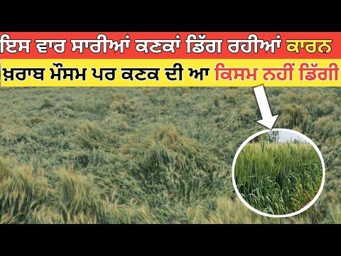 Wheat Management 2021