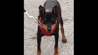 Miniature Pinscher - Stop Jumping - Dog Training Of Fort Myers - Patrick Logue
