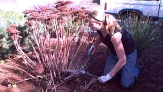 How to Prune Sedum Autumn Joy (Video Tutorial).wmv