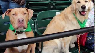 Dogs take over Portland Timbers game for T2's Bark in the Park thumbnail