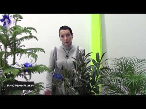Фикус уход в домашних условиях / Фикус эластика мелани (hybrid)